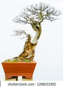 Bonsai tall slanted naked tree against a white wall