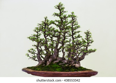bonsai tree.