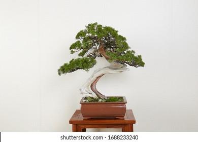 bonsai tree art china Japanese