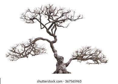 Bonsai tree branches without leaves