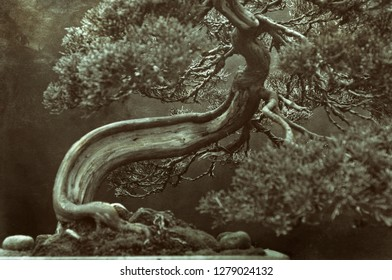 Bonsai tree with curved trunk