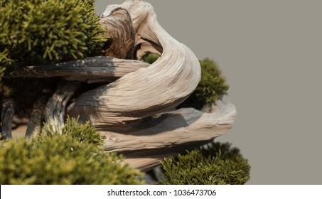 Wild Bonsai Tree Images Stock Photos Vectors Shutterstock