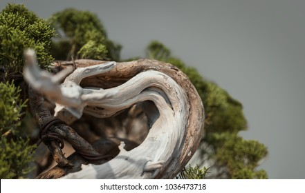 Bonsai tree with curved trunk close up against grey background