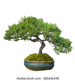 bonsai tree in garden isolated on white, clipping path
