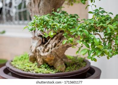 Bonsai tree green leaves close-up