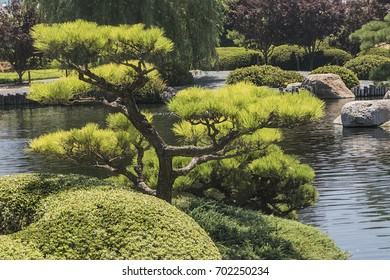 Bonsai tree grows near the water at the local garden