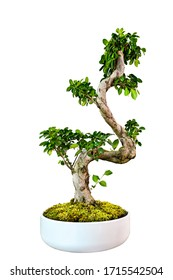Bonsai Tree in hand , green Nature isolated white Background
