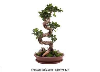 Bonsai tree isolated on white. Ficus microcarpa ginseng