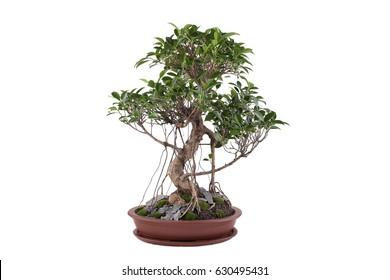 Bonsai tree isolated on white. Ficus retusa tiger bark 15 years old bonsai