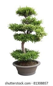 bonsai tree isolated on white,miniature elm tree
