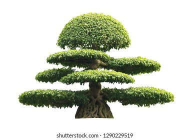 Bonsai tree isolated over white