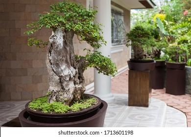 Bonsai tree in the Japanese Garden