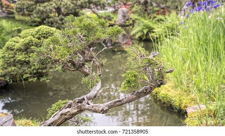 Bonsai tree at Japanese garden in San Francisco.