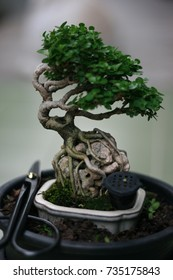 bonsai tree mini tree in the pot