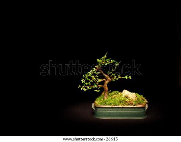 Bonsai tree on a black background