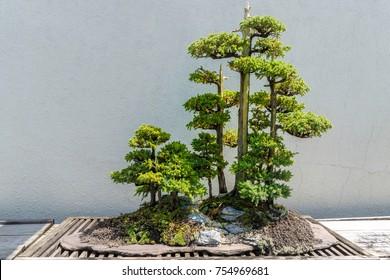 Bonsai Tree on a stucco background