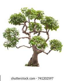 bonsai tree on a white background, with clipping path
