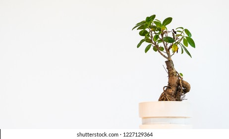 bonsai tree on a white surface and white background, bonsai tree isolated on white background, bonsai tree in a white pot