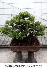 Bonsai Tree at Peta Park