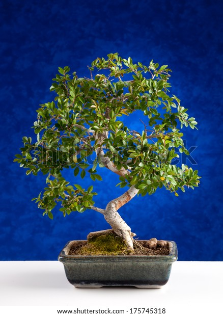 Bonsai Tree Photographed Studio On Blue Stock Photo Edit Now 175745318