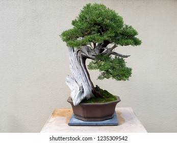 Bonsai Tree in Planter