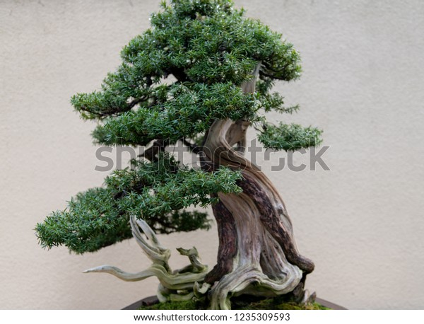 Bonsai Tree Planter Stock Photo Edit Now 1235309593