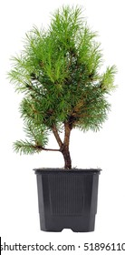 Bonsai Tree in a plastic pot on a white background