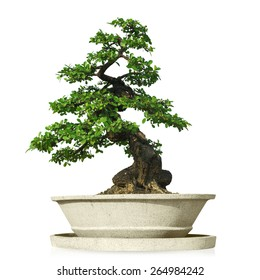 bonsai tree in pot Isolated on white background with clipping path.