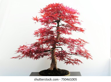 Bonsai tree in pot with moss. White wall, red leaves, bonsai tree isolated like on exhibition. Miniature tree, nature wonder, red leaf. Japanese art, china art penjing, penzai.