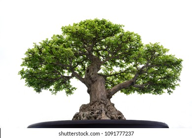 Bonsai tree in a pot on a white background.