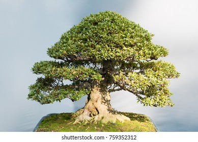 Bonsai tree with in a pot in sunlight against a grey wall, China