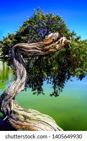 The Bonsai tree right by the water at Lake Merritt in Oakland California