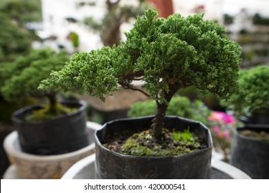 bonsai tree for sale at mexican vendor in san miguel de allende