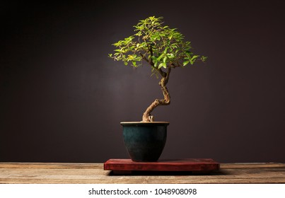 A Bonsai Tree Sits On A Display Table On A Wooden Bench