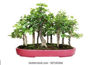 Bonsai Tree and soil on a white background