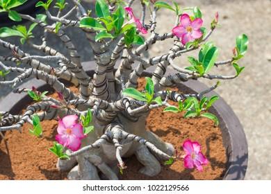 bonsai tree in Thailand