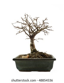 bonsai tree without leafs isolated on the white background