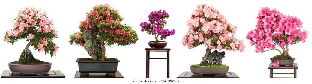 Bonsai-Bäume mit Blumen, weißes, isoliertes Panorama