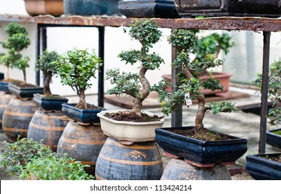 Bonsai trees in pots for sale
