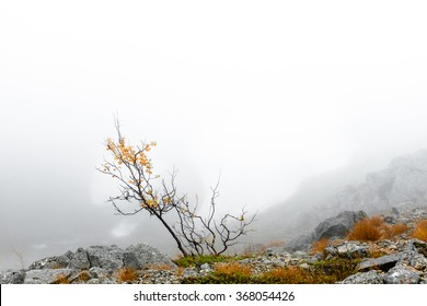 Bonsai-like birch tree in fog on the edge of Kukisvumchorr mountain ridge near waterfall on Kaskanynjok river, Hibiny mountains above the Arctic circle, Russia