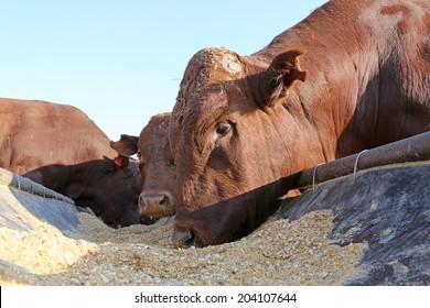 Bonsmara bulls eating from feed trough, South Africa