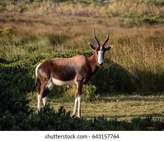 A Bontebok antelope standing in fynbos in Southern Africa