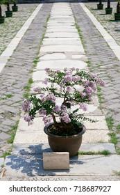 Bonzai on a cobble path in Beijing