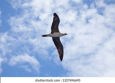 Booby bird in flight