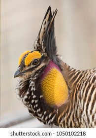 Booming Greater Prairie Chicken in the spring