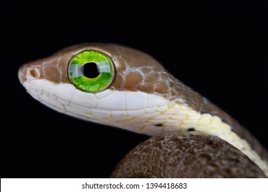 The Boomslang (Dispholidus typus) is a highly venomous snake species found across large parts of sub saharan Africa.