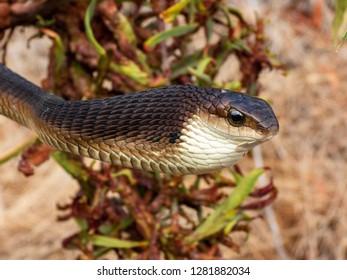 Boomslang (Dispholidus typus) on a branch - a dangerously venomous reptile (snake).