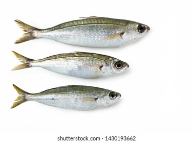 Boops boops fish isolated on white background, Boga