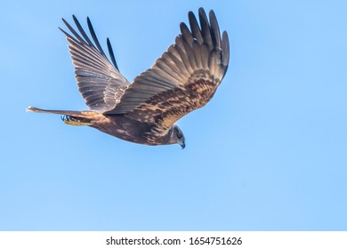 Booted Eagle (hieraaetus pennatus) in the Marshes of the Ampurdan, Girona, Catalonia, Spain.