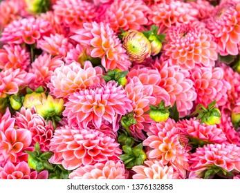 Boquet of dahlias in a garden